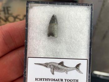 Ichthyosaur Tooth, Russia #12