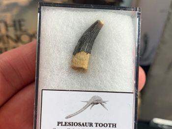 Plesiosaur Tooth, Russia #03