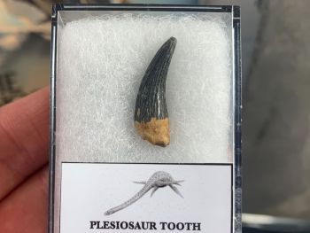 Plesiosaur Tooth, Russia #06