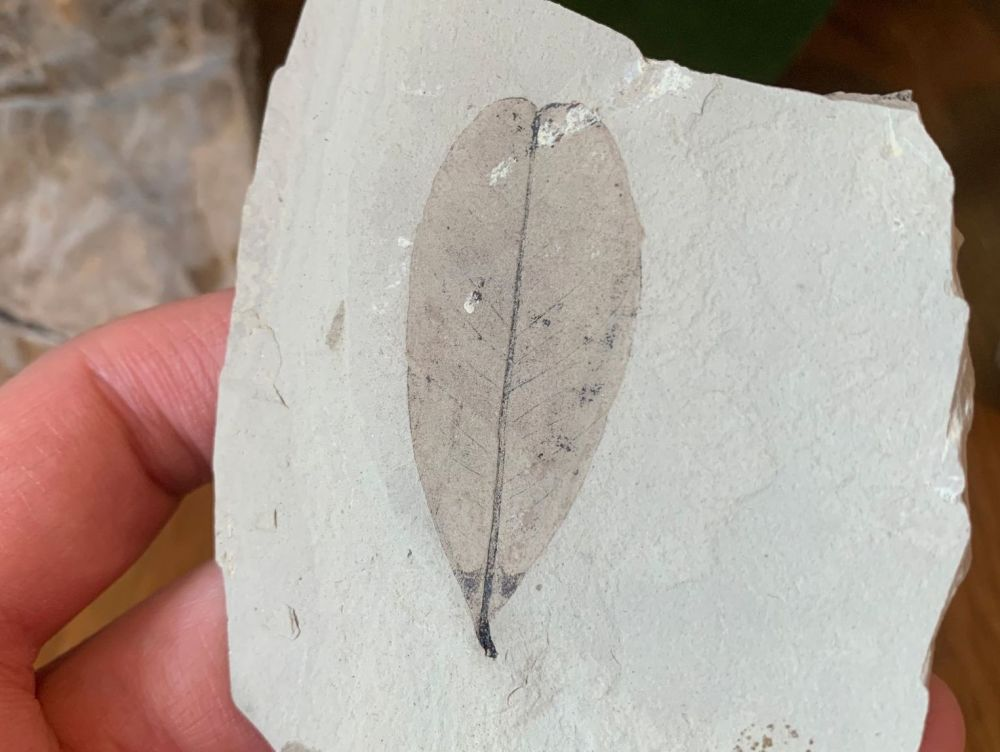 Fossil Leaf (Green River Formation) #01