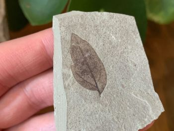 Fossil Leaf (Green River Formation) #04