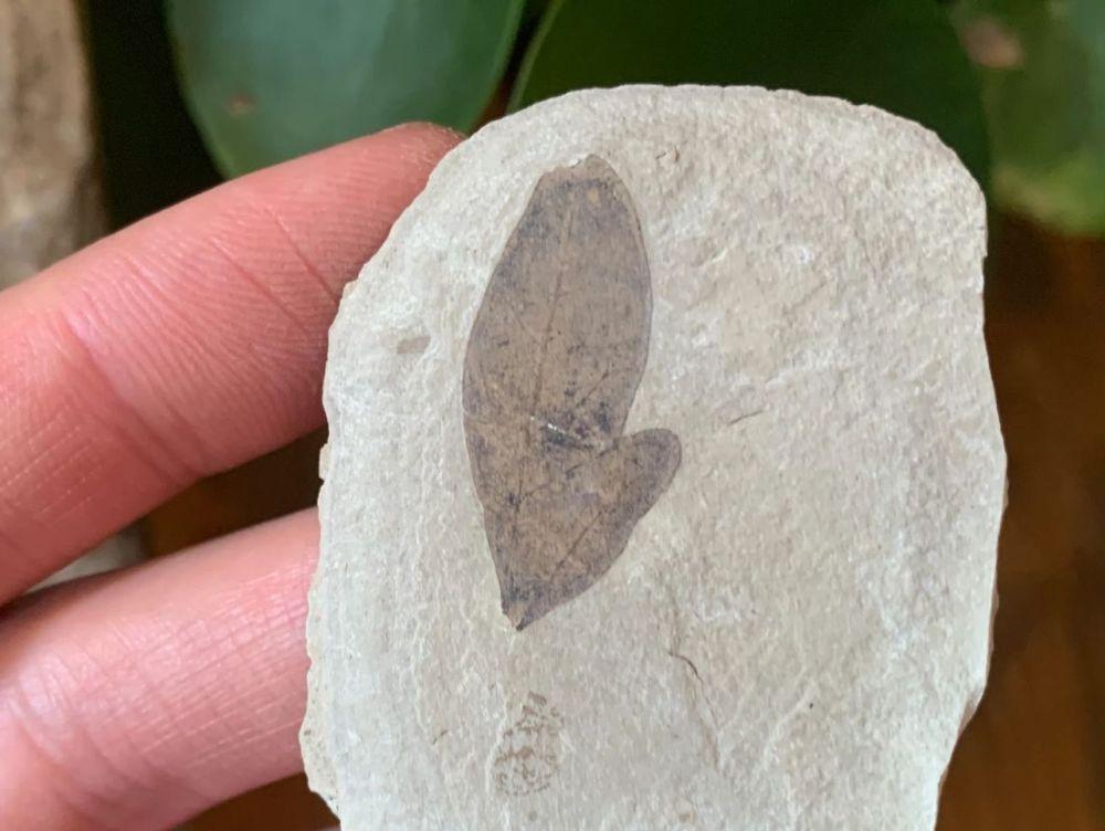 Fossil Leaf (Green River Formation) #06