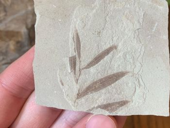 Fossil Leaves (Green River Formation) #07