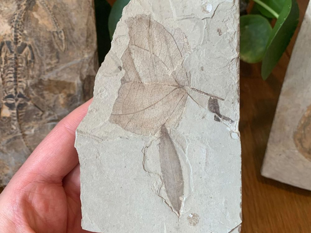 Fossil Leaves (Green River Formation) #08