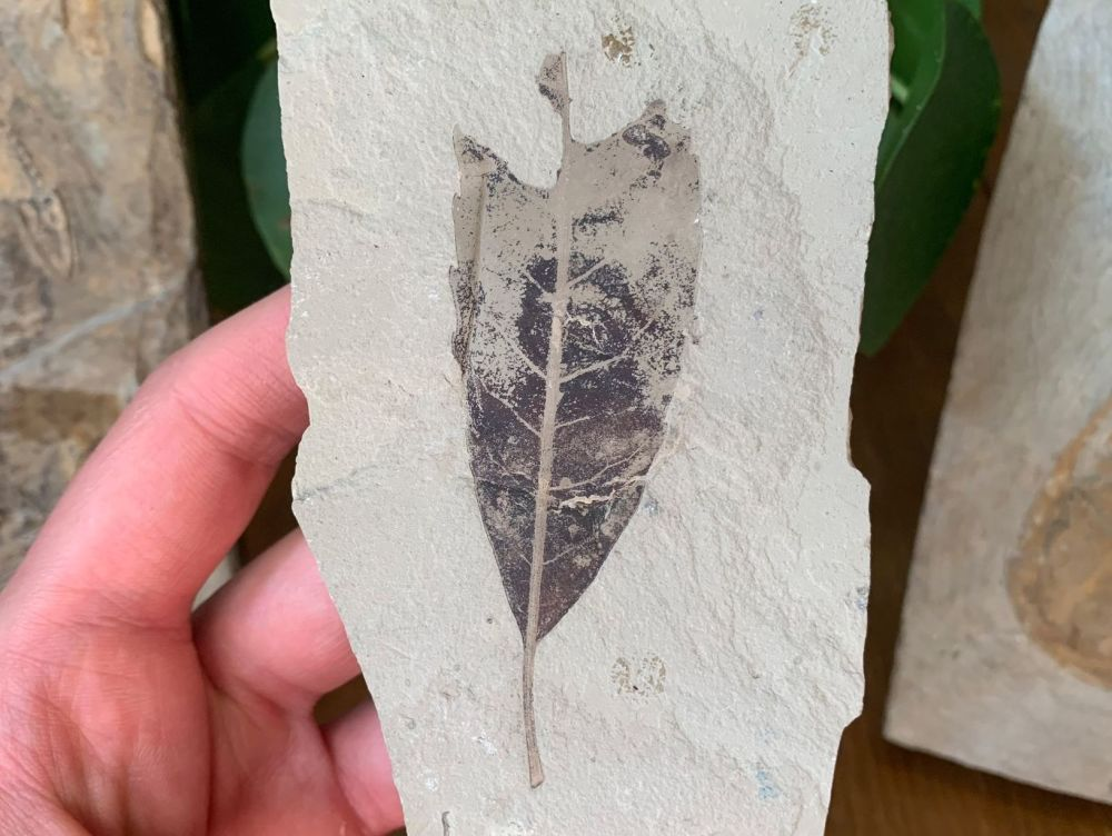 Fossil Leaf (Green River Formation) #09