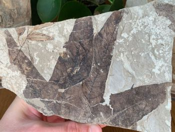 Fossil Leaves, Sycamore (Green River Formation) #14