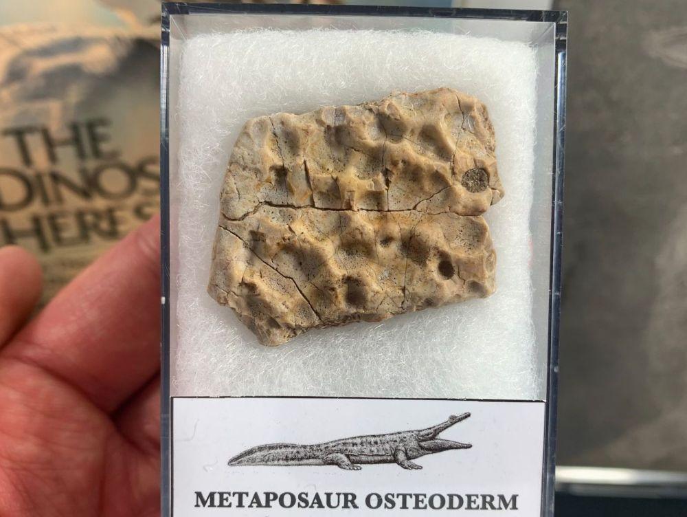 Metaposaur Osteoderm (Triassic Amphibian) #01
