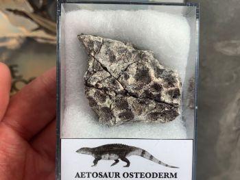 Aetosaur Osteoderm (Triassic Reptile) #07