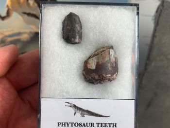 Phytosaur Teeth (Arizona)