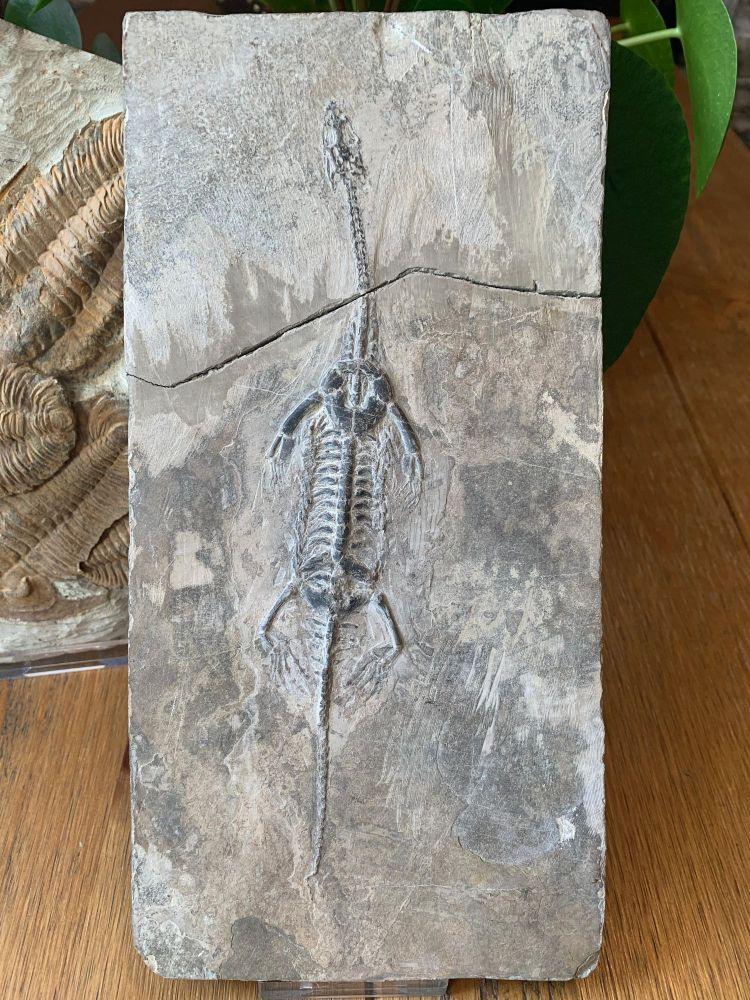 Keichousaurus hui, Marine Reptile #05
