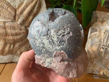 Spheroolithus Dinosaur Egg