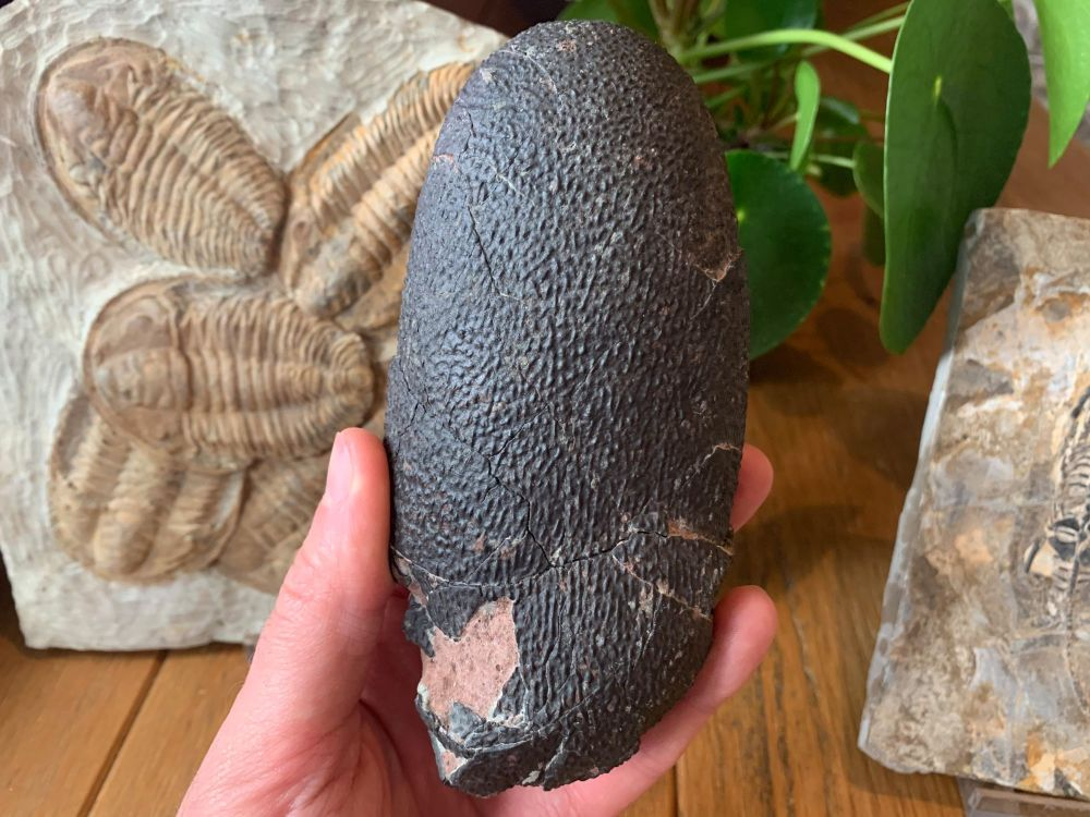 Oviraptor (Elongatoolithid) Dinosaur Egg #04