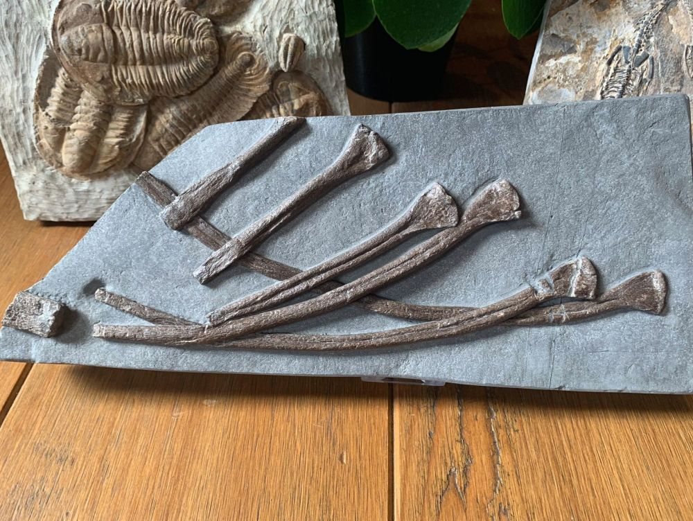 Ichthyosaur Ribs, Germany