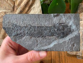 Osteolepis macrolepidotus, Devonian Fossil Fish (Scotland) #01