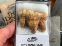 Ursus spelaeus Cave Bear Tooth (molar) #12