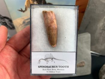 Spinosaurus Tooth - 1.63 inch #SP05