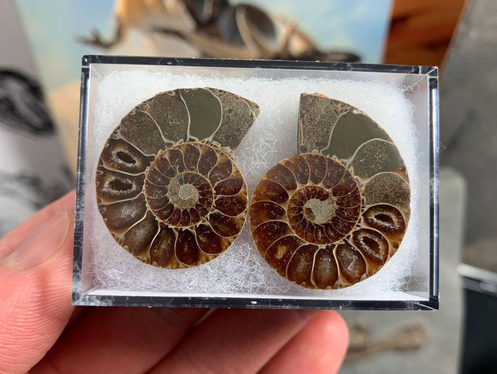 Cut & Polished Ammonite (pair) #02