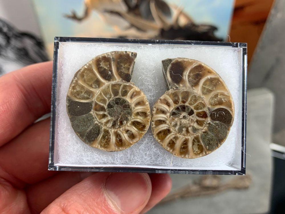 Cut & Polished Ammonite (pair) #05