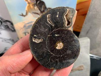 Cut & Polished Ammonite #05