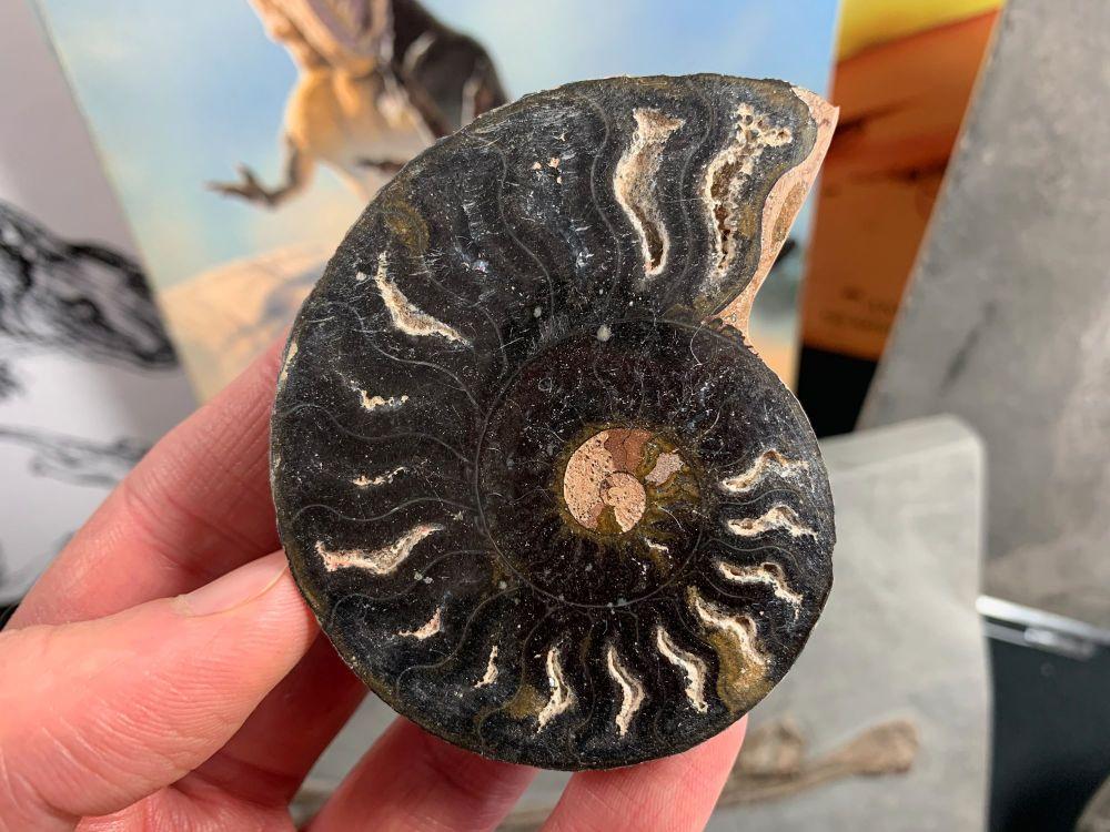 Cut & Polished Ammonite #06
