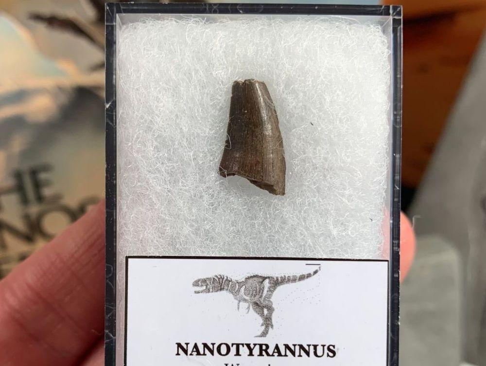 Nanotyrannus Tooth #12