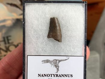 Nanotyrannus Tooth (Partial) #12