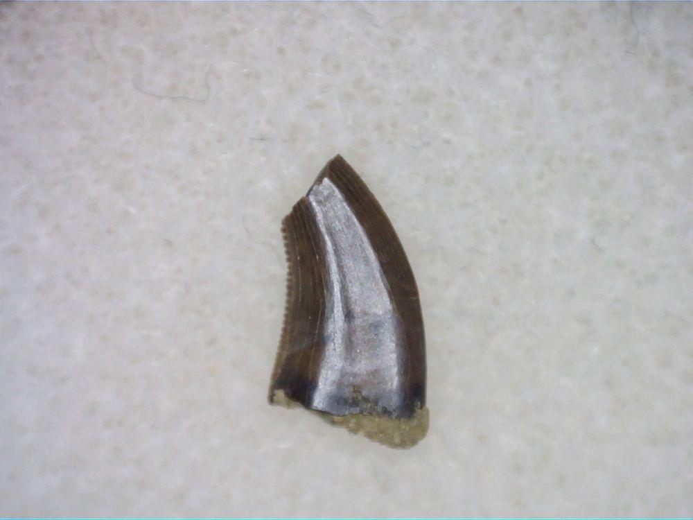 Acheroraptor Dromaeosaur (Raptor) Tooth #03