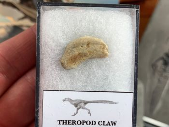 Theropod Dinosaur Claw (Lance Creek)
