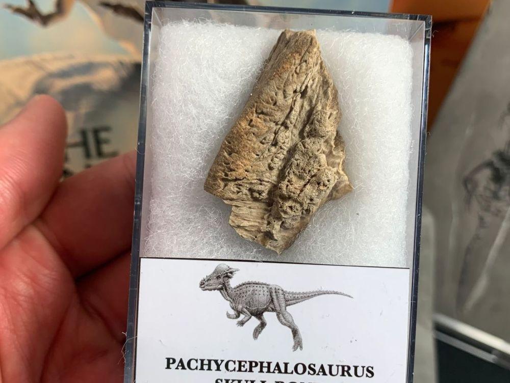 Pachycephalosaurus Skull Bone (Lance Creek)