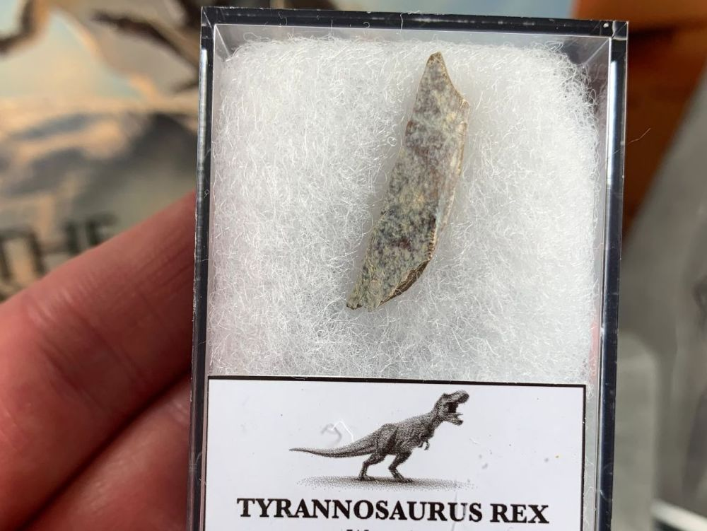 Tyrannosaurus rex Tooth Chunk #10