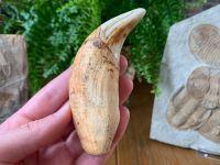 MUSEUM QUALITY Ursus spelaeus Cave Bear Canine (4.25 inch) #02