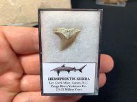 Hemipristis Serra Shark Tooth, North Carolina #12