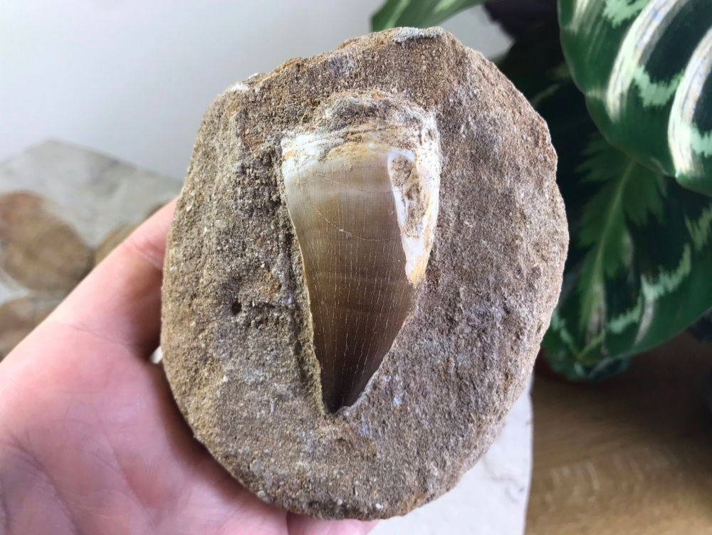 Large Mosasaur Tooth on Matrix #2