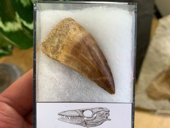 Large Mosasaur Tooth (1.75 inch) #01
