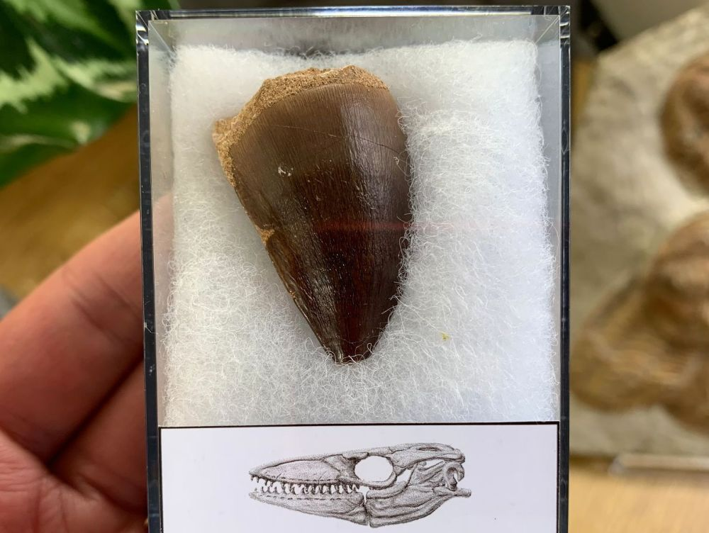 Large Mosasaur Tooth (1.44 inch) #02