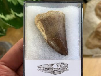 Large Mosasaur Tooth (1.63 inch) #03