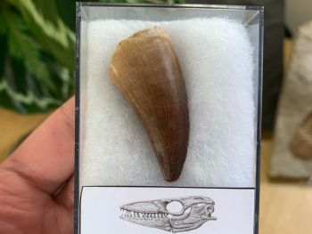 Large Mosasaur Tooth (1.75 inch) #04