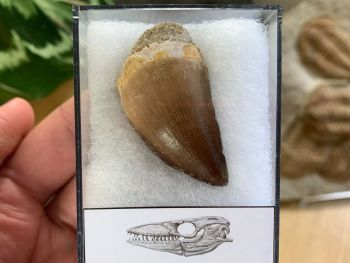 Large Mosasaur Tooth (1.56 inch) #05