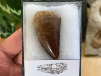 Large Mosasaur Tooth (1.75 inch) #07