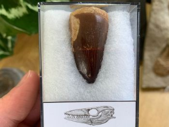Large Mosasaur Tooth (1.56 inch) #08