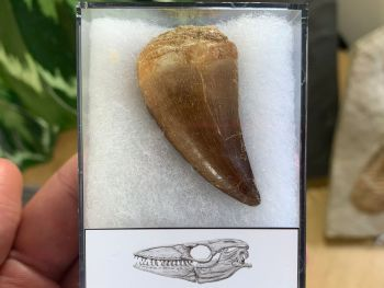 Large Mosasaur Tooth (1.63 inch) #10