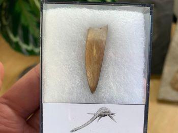 Plesiosaur Tooth (1.31 inch) #01