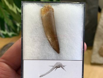 Plesiosaur Tooth (1.56 inch) #02
