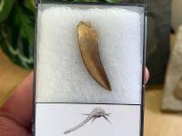Plesiosaur Tooth (1.38 inch) #03