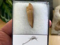 Plesiosaur Tooth (1.38 inch) #04