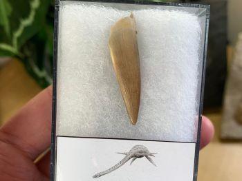 Plesiosaur Tooth (1.5 inch) #05