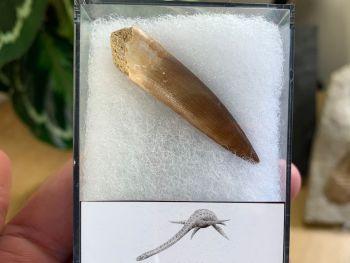 Plesiosaur Tooth (1.75 inch) #06