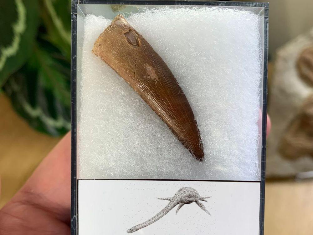 Plesiosaur Tooth (1.75 inch) #07