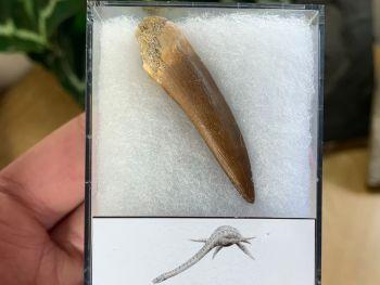 Plesiosaur Tooth (1.75 inch) #08