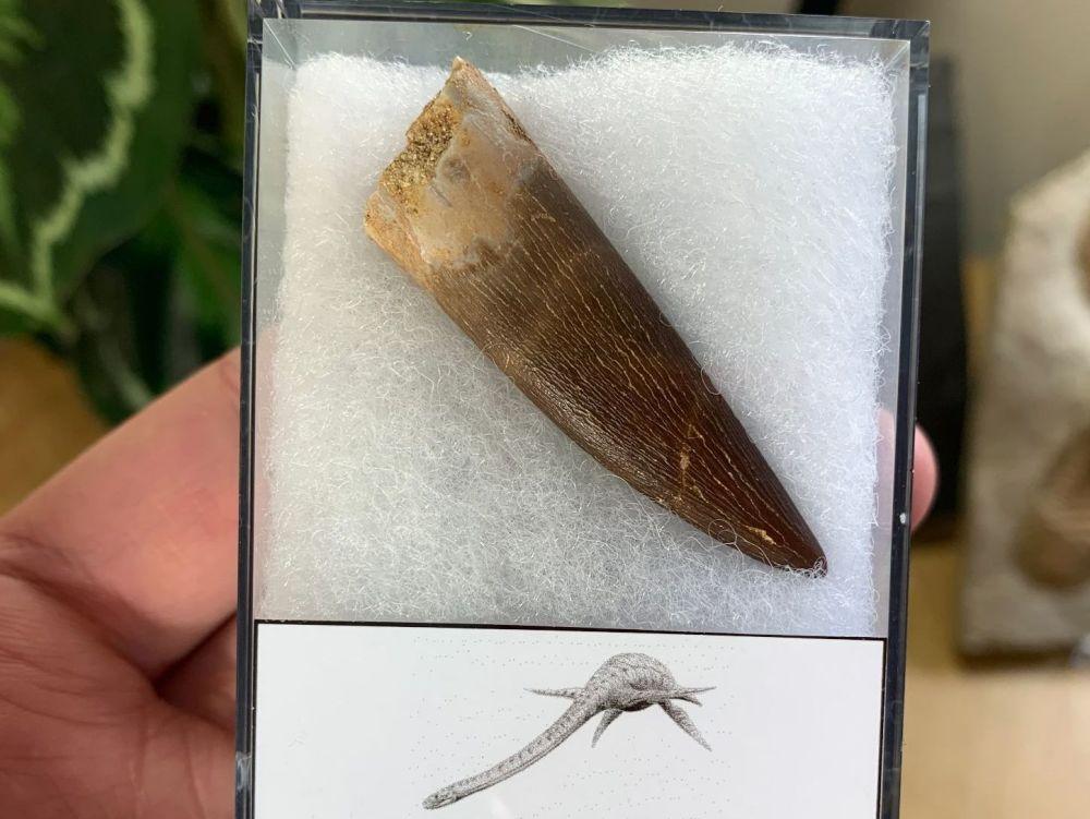 Plesiosaur Tooth (1.94 inch) #09